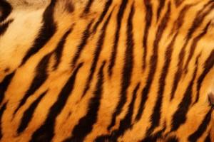 tygr, kůže, kožich